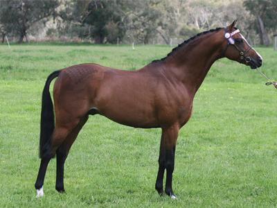 stallion12